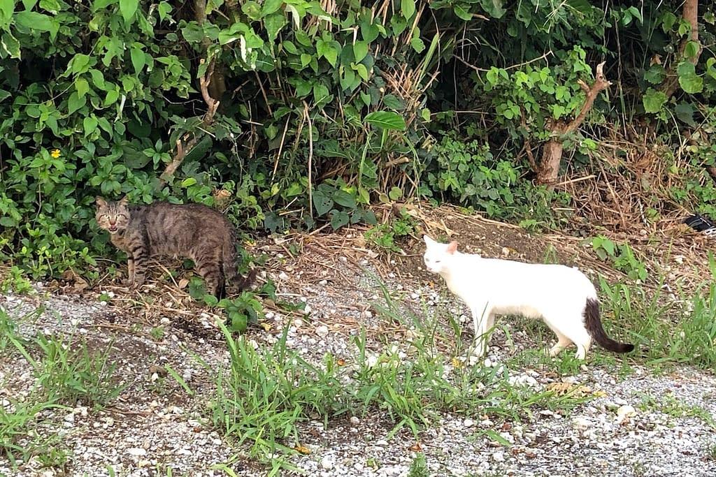 瀬長島サンセットパーク付近のキジトラ猫としっぽがかわいいねこ