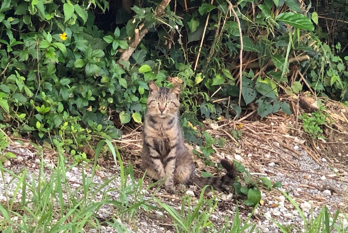 瀬長島の子宝岩近くのキジトラ猫